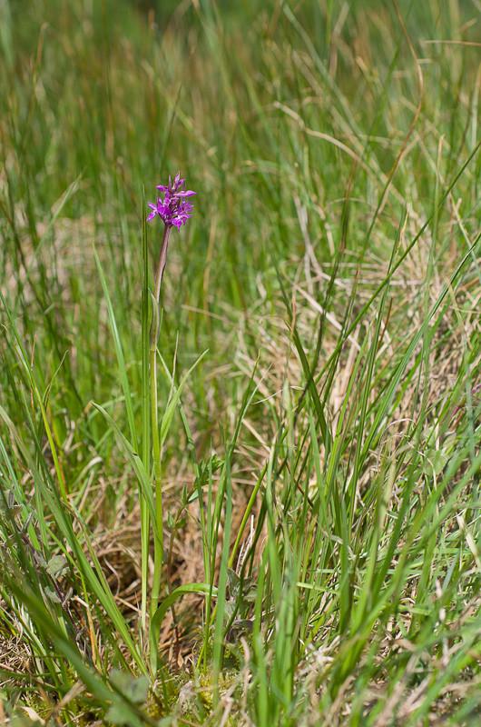 Dactylorhiza et orchidées des marais (38, 73 et 74) Imgp3411