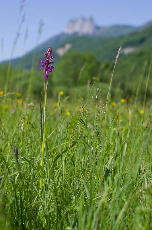 Dactylorhiza et orchidées des marais (38, 73 et 74) Imgp3610