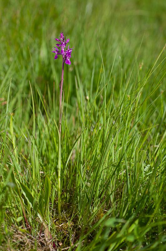 Dactylorhiza traunsteineri ( O. de Traunsteiner ) Imgp7911