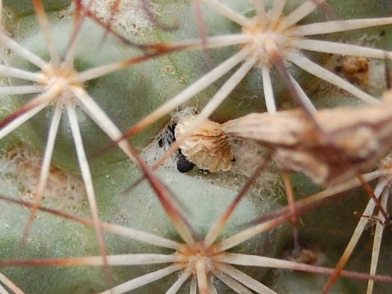Mammillaria schumannii 1612-210