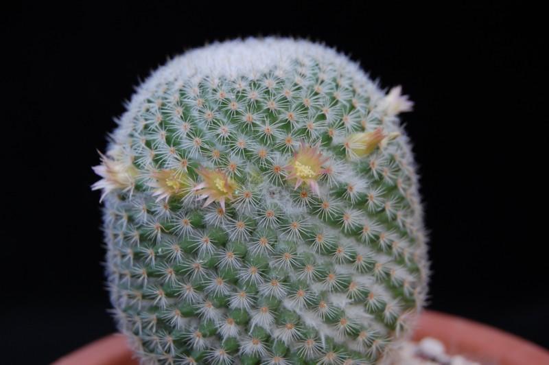 Mammillaria crucigera 2632-211