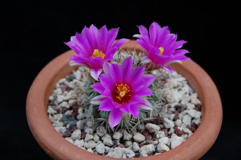 Mammillaria schumannii 2720-211