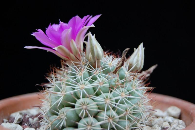 Mammillaria schumannii 2720-212