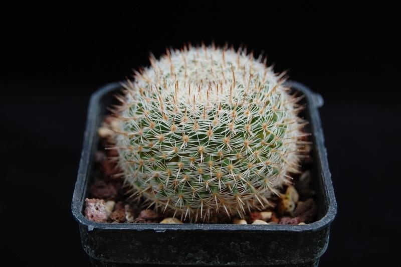 Mammillaria perbella 3257-210