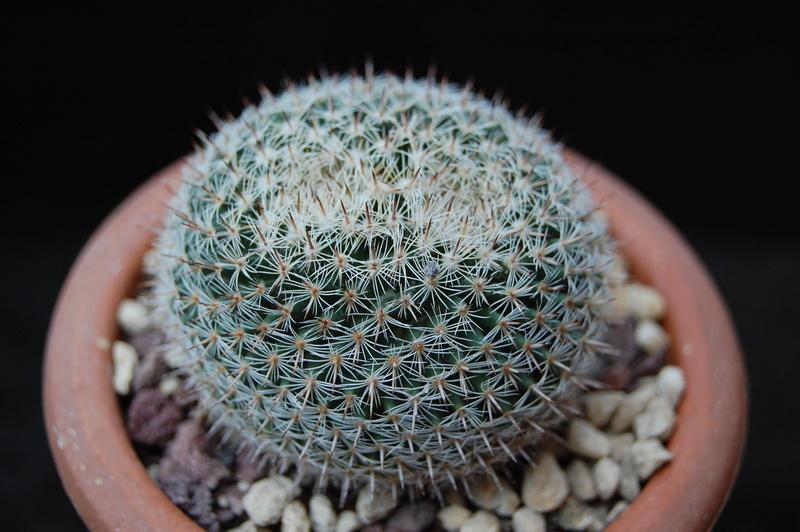 Mammillaria perbella 3257-211