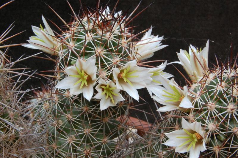 Mammillaria capensis 3314-210