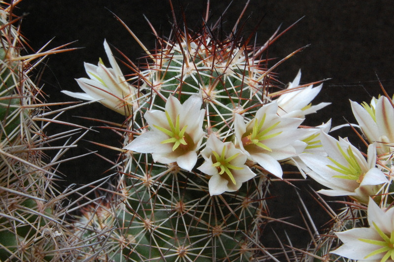 Mammillaria capensis 3314-211