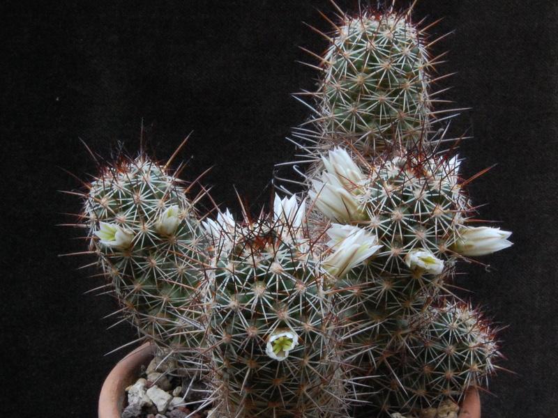 Mammillaria capensis 3314-212