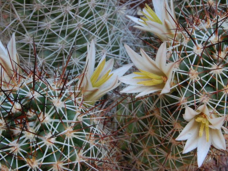 Mammillaria capensis 3315-210