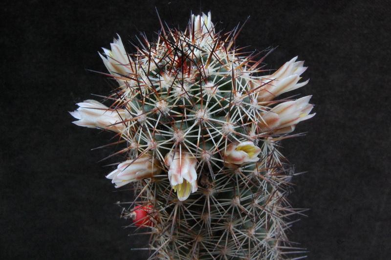 Mammillaria capensis 3317-210