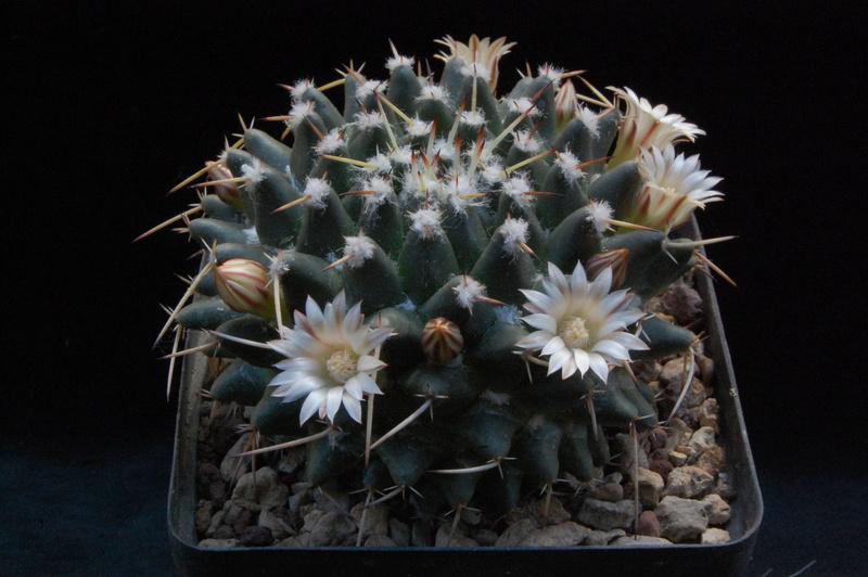 Mammillaria centricirrha 3589-210