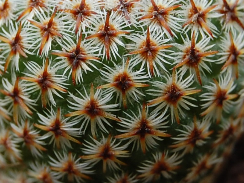 Mammillaria crucigera 3675-211