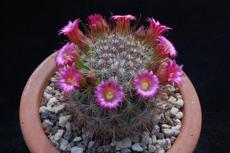 Mammillaria albrechtiana 5073-210