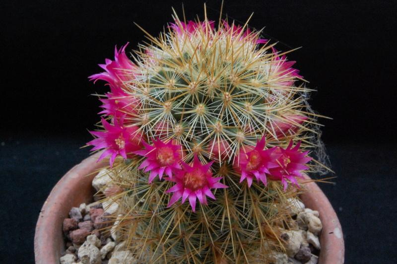 Mammillaria rekoi 5108-210