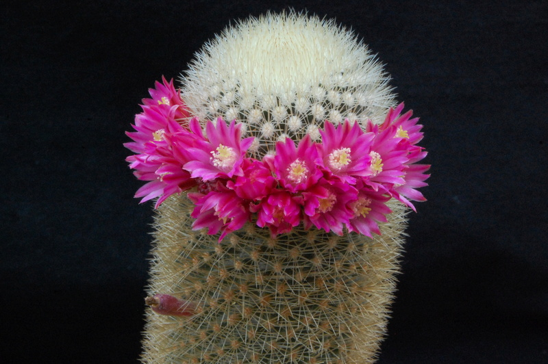 Mammillaria spinosissima 5177-210