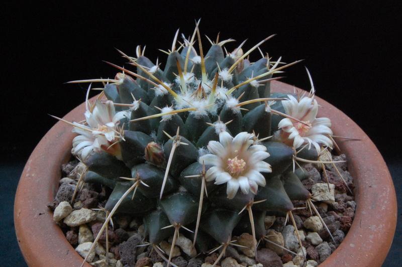Mammillaria centricirrha 5190-210