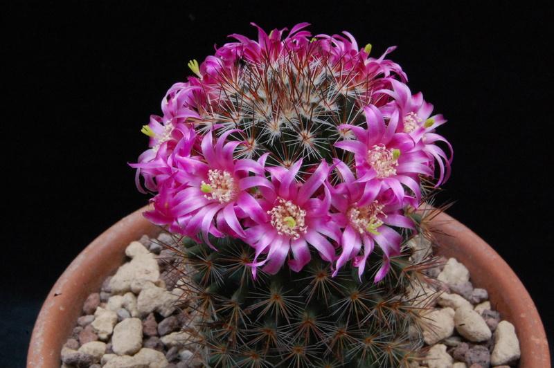 Mammillaria centraliplumosa 5532-210