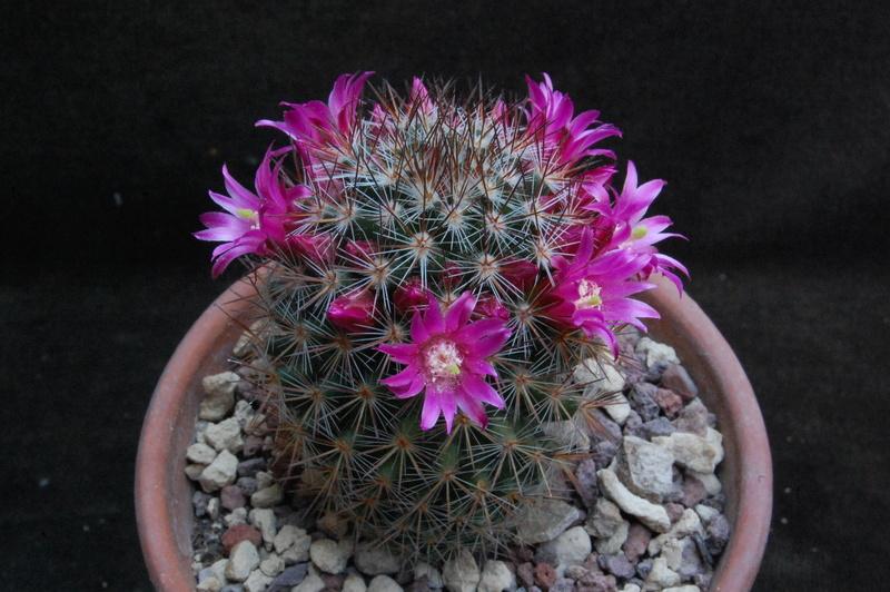 Mammillaria centraliplumosa 5532-211