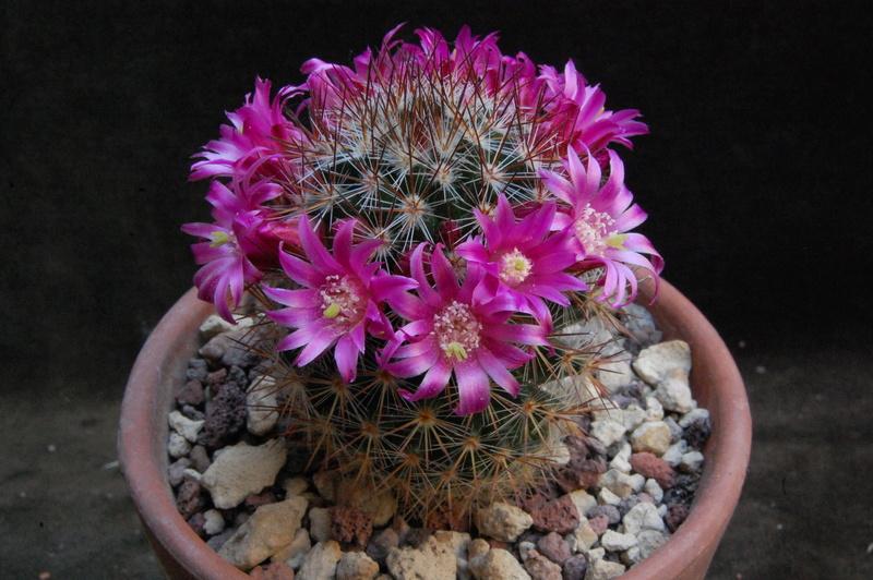 Mammillaria centraliplumosa 5532-212