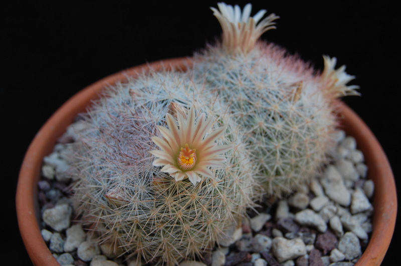 Mammillaria candida 6014-210