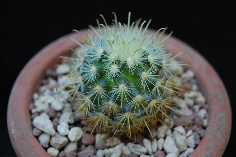 Mammillaria cowperae 6021-210