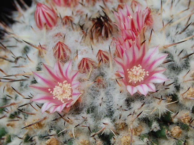 Mammillaria amajacensis 6111-210