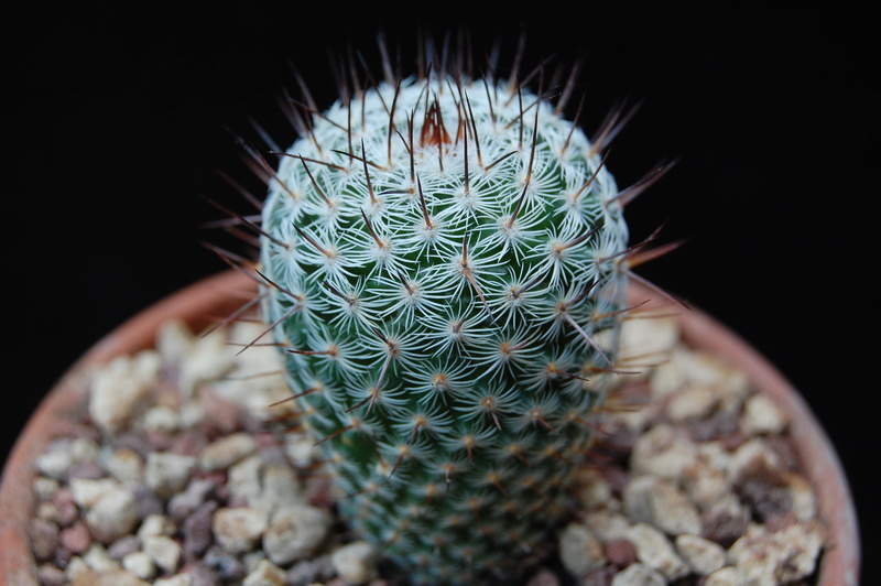 Mammillaria haageana 6230-211