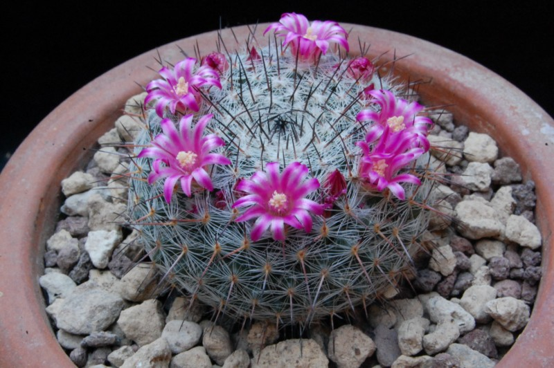 Mammillaria saetigera 6318-210