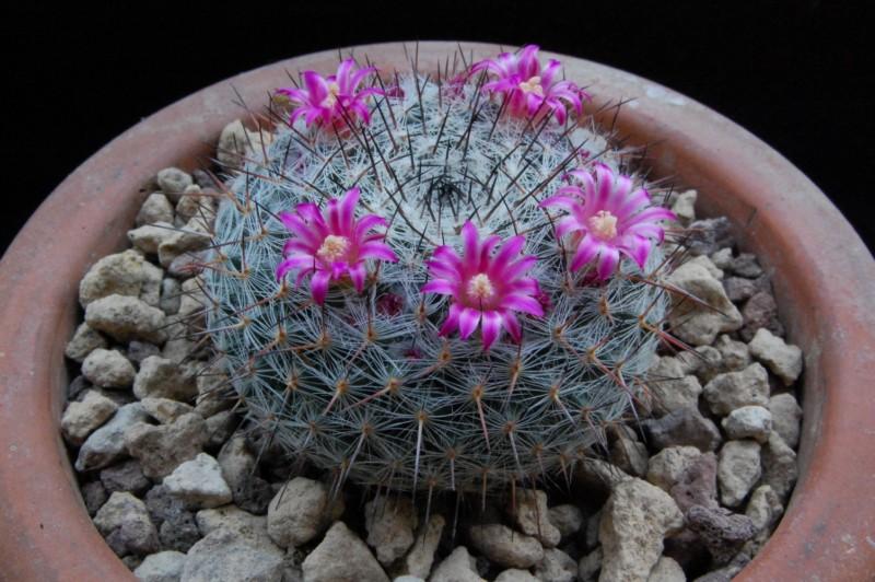 Mammillaria saetigera 6318-212