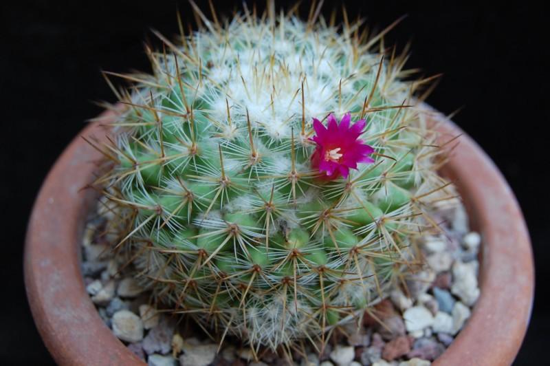 Mammillaria haageana 6460-211