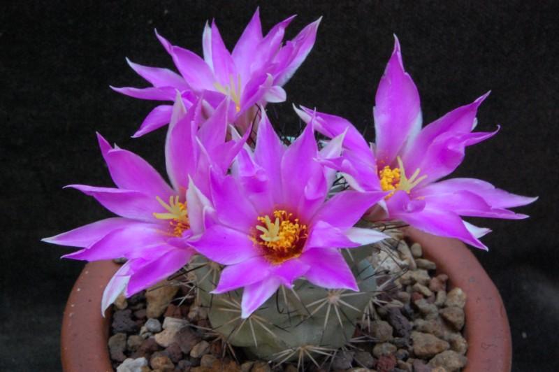Mammillaria schumannii 6524-211