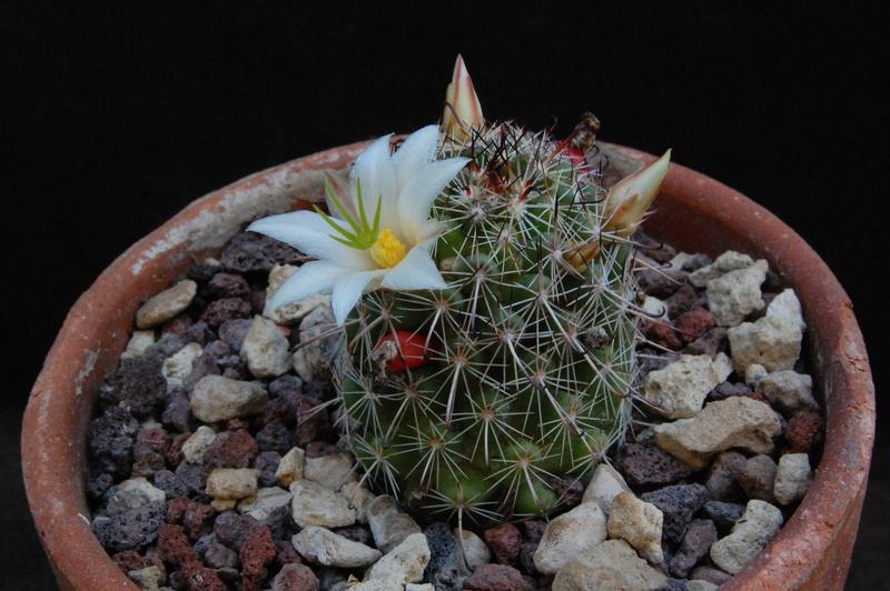 Mammillaria hutchisoniana 7121-210