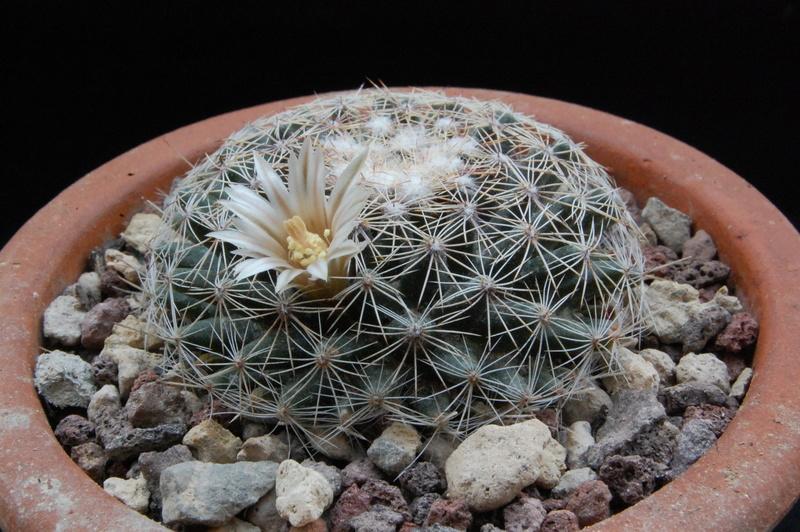 Mammillaria heyderi - Page 2 7134-210