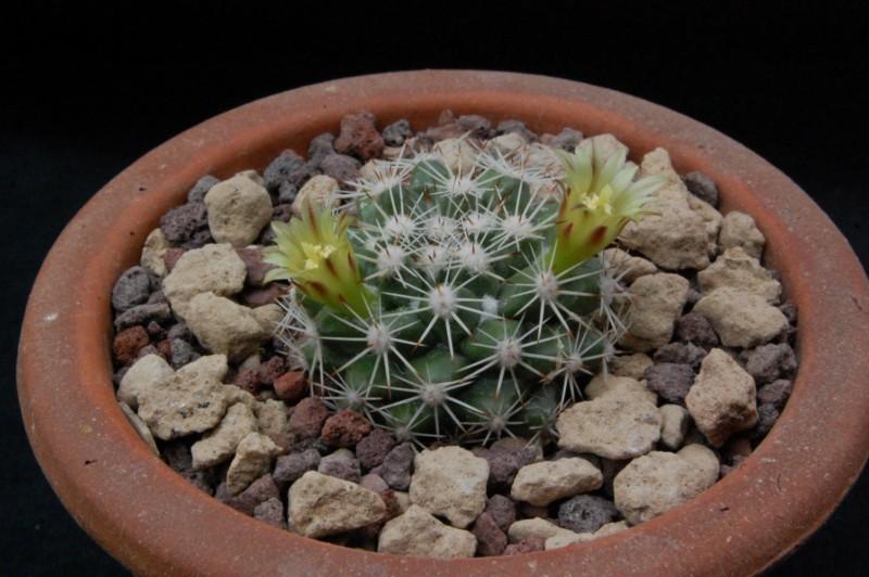 Mammillaria petrophila 7160-210