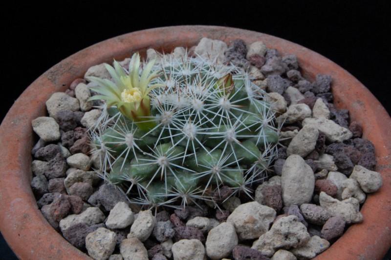Mammillaria petrophila 7161-210