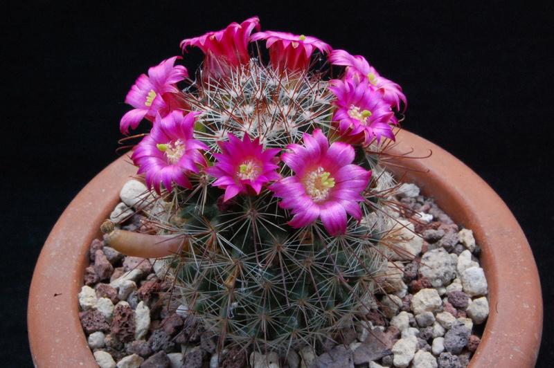 Mammillaria sanjuanensis  7203-210