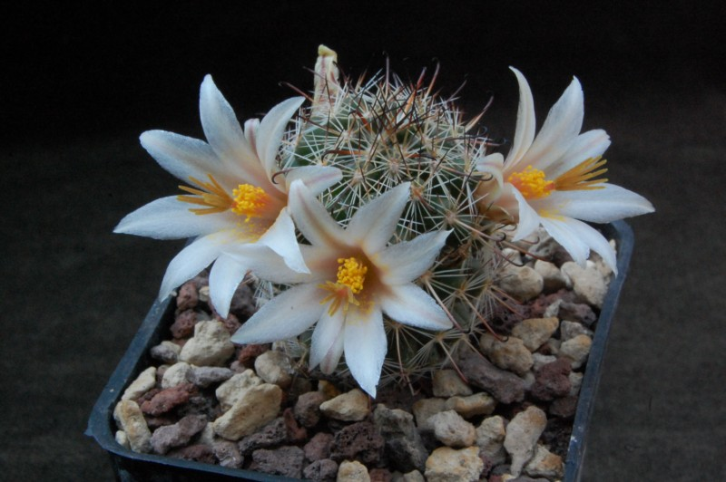 Mammillaria bullardiana 7214-210