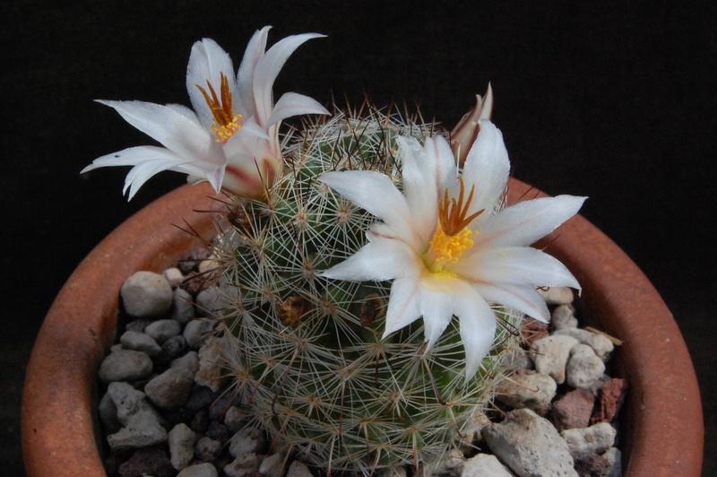 Mammillaria hutchisoniana 7230-214