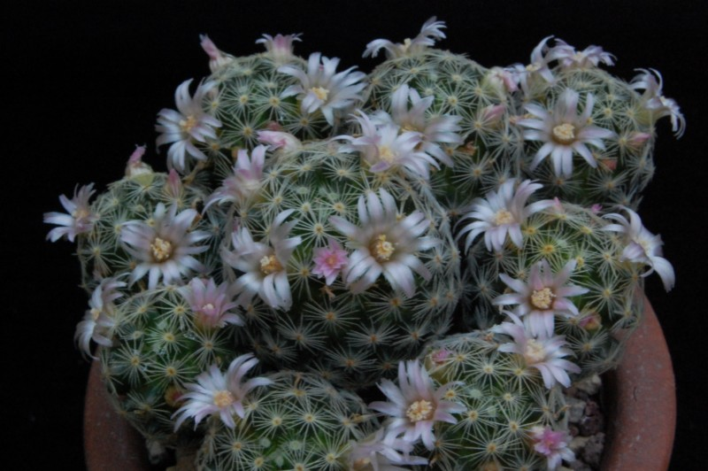 Mammillaria schiedeana 7317-211