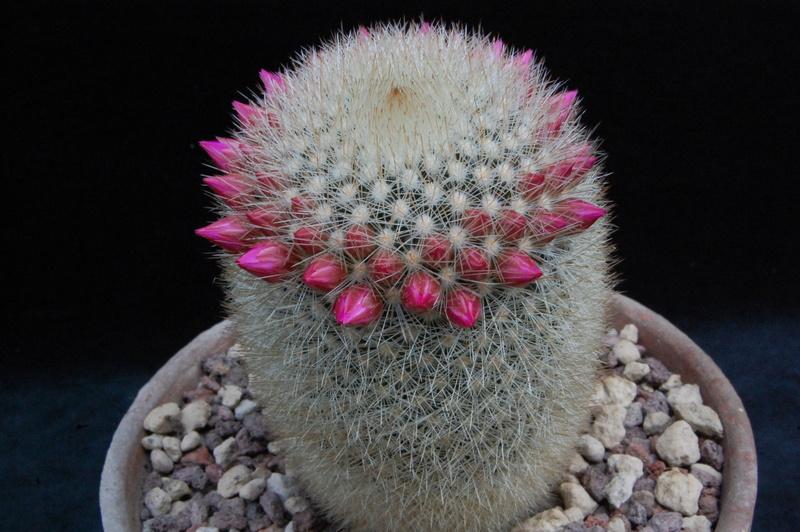 Mammillaria spinosissima 7356-210