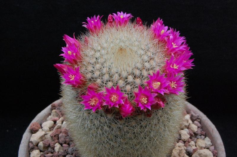 Mammillaria spinosissima 7356-211