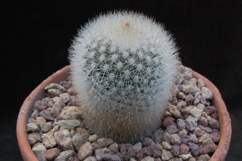 Mammillaria spinosissima 7356-212