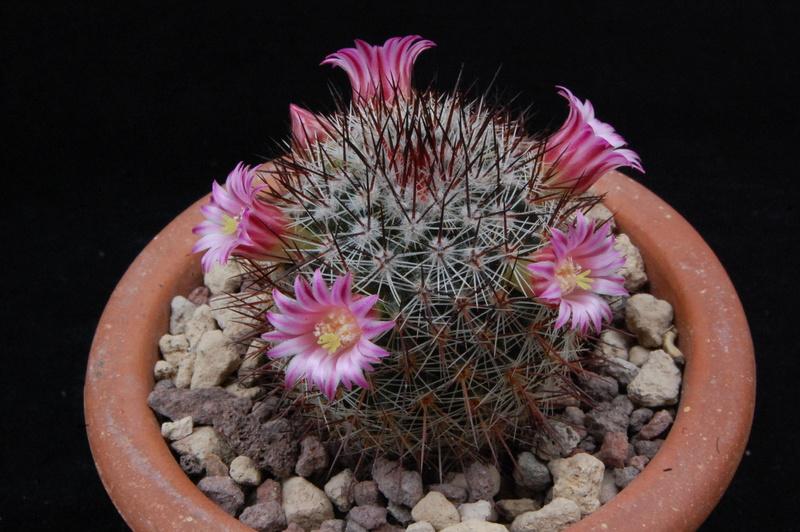 Mammillaria crassior 7358-211
