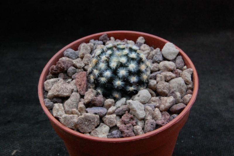 Mammillaria schiedeana 7364-213