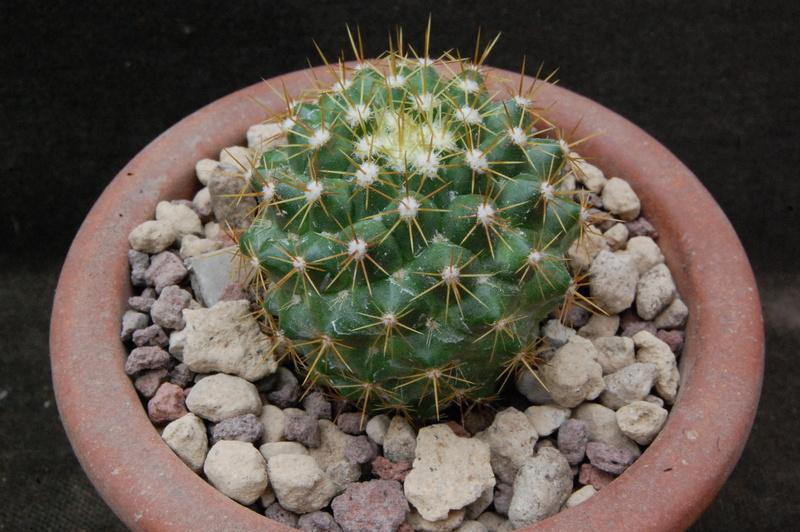 Mammillaria marksiana 7367-210