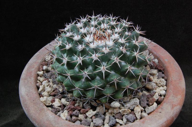 Mammillaria heyderi 7412-210