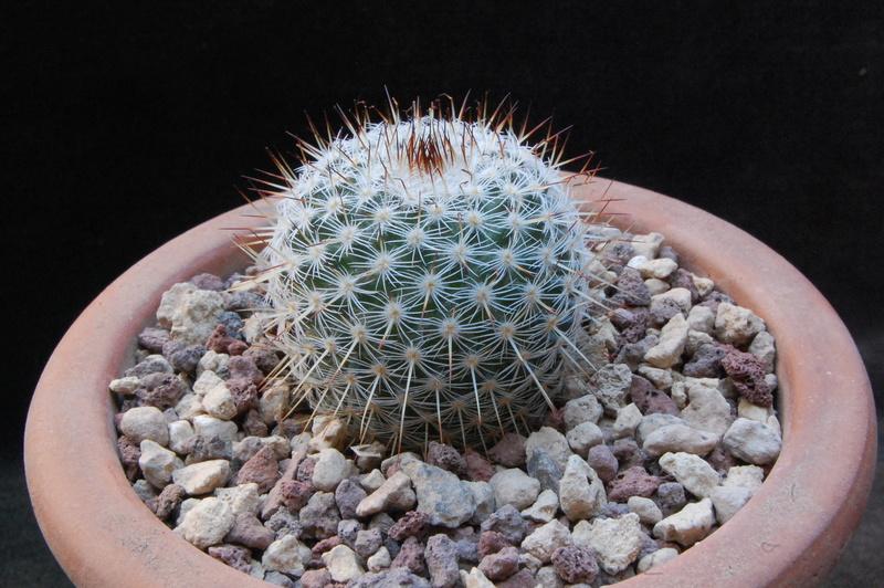 Mammillaria haageana 7413-210