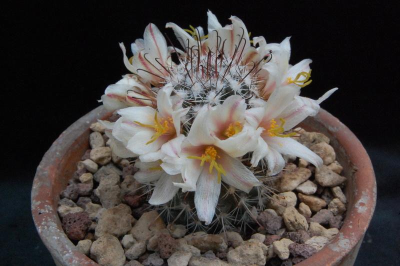 Mammillaria hutchisoniana 7526-210