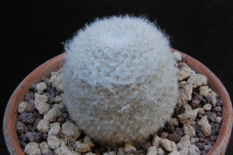 Mammillaria albilanata 8002-210