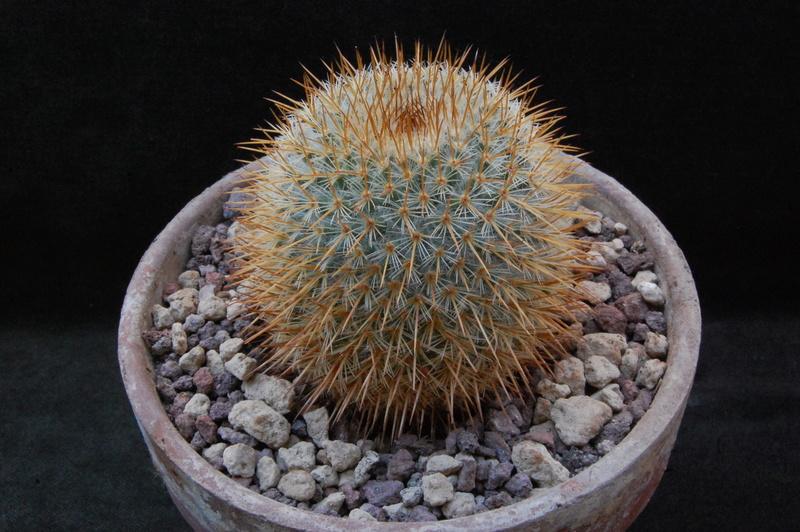 Mammillaria haageana 8010-210